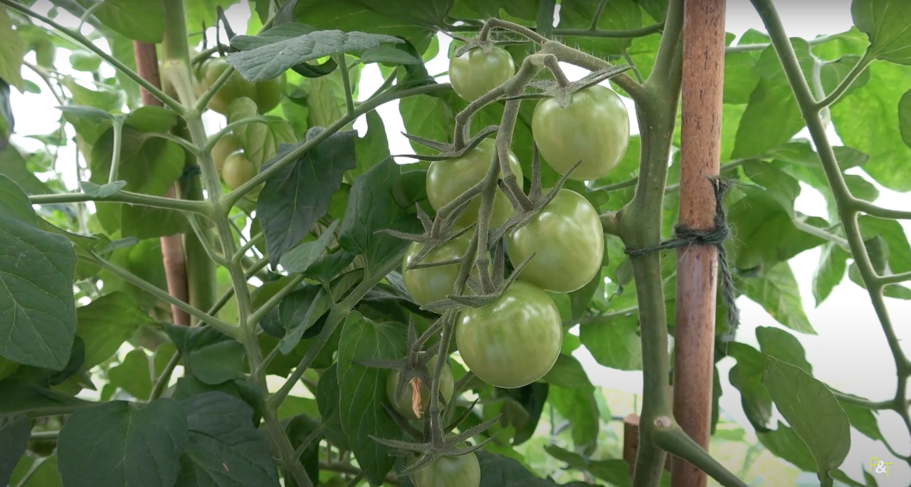 Gardening Advice - Tomato Growing Tips from Pots & Trowels