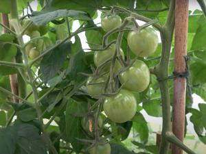 Gardening Advice: Tomato Growing Tips